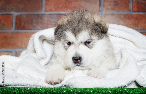 Photo little puppy of breed Alaskan Malamute on the background of a brick wall