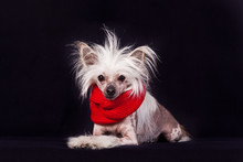 Chinese Crested Hairless Dog I...