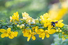 Xylocopa Pubescens Carpenter Bee Foraging For Nectar On Yellow Flowers, Entebbe, Uganda