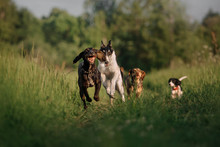 Group Of Happy Dogs Running Outdoors In Summer