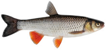 Freshwater Fish Isolated On White Background Closeup. Simply Chub, European Or Common Chub Is A Fish In The Carp Family Cyprinidae, Type Species: Squalius Cephalus.