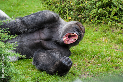 Male silverback gorilla is showing his teeth in his big wide open mouth Wallpaper Mural
