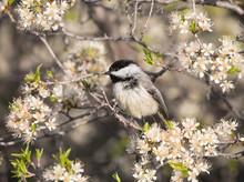 Black Capped Chickadee Perched Among White Blossems