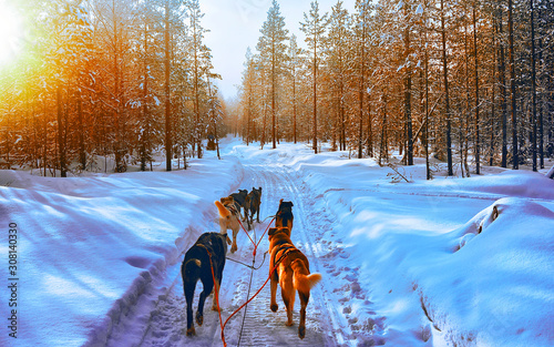Obraz Husky family dog sled in winter Rovaniemi of Finland of Lapland. Dogsled ride in Norway. Animal Sledding on Finnish farm after Christmas. Fun on sleigh. Safari on sledge and Alaska landscape. - fototapety do salonu