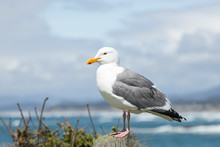 California Gull On Pier With Waves And Ocean In Background