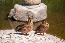 Two Ducks Beside The Pond