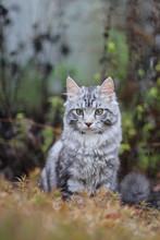 Silver Tabby Cat Outside