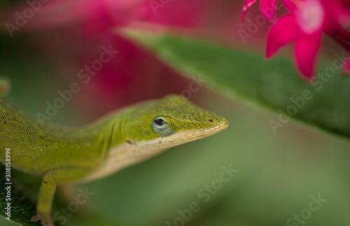 Photo Anole Lizard green leaf 4