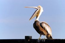 Pelican With Beak Open Wide.
