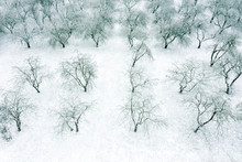 Apple Trees In Orchard With Bare Branches Under White Snow In December. Aerial View