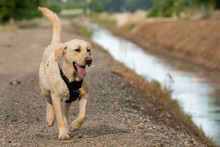 Yellow Labrador Retriever Dog ...