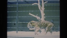 COLORADO SPRINGS COLORADO USA .-1973: Tiger Prowls Around In Cage At The Zoo While Child Watches