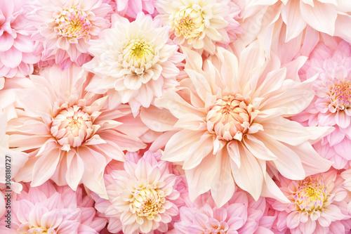 Cuadros en Lienzo Summer blossoming delicate dahlias, blooming flowers festive background, pastel