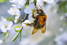 The Photo Shows A Close-up Bee On A Flower. In The Background Is A Blossoming Apple Tree.