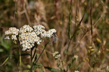 A Horse Fly Feeds On The Wildf...
