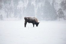 European Bison In Snowstorm