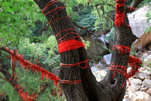 Old Willow With Red Silk Twine...