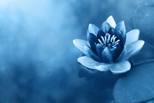 Beautiful Blooming Water Lily On A Pond Blurred Background Copy Space