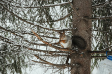 Luxurious Gray Squirrel Eats ...