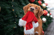 canvas print picture funny retriever dog holding a santa hat in mouth in front of a christmas tree