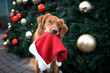 canvas print picture funny retriever dog holding santa hat in mouth in front of a christmas tree