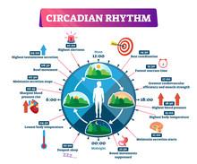 Circadian Rhythm Vector Illust...