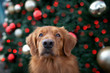 canvas print picture - funny toller retriever dog portrait in front of a christmas tree outdoors