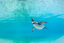 Humboldt Penguin Swimming Unde...
