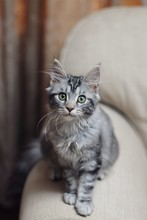 Young Maine Coon Cat Looking I...