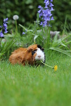 Guinea Pig Eating Dandelion Fl...