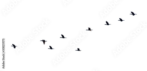 Flock of birds flying in a row, High view silhouette group of bird fly in a line beautiful nature of wildlife isolated on white background