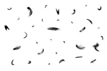 Beautiful Black Swan Feathers Floating In Air Isolated On White Background