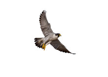 Flying Of Peregrine Falcon On ...