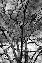 Barren Tree At Winter Time Background In Black And White