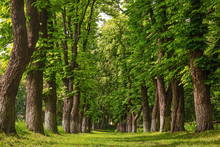 Alley Of Huge Old Chestnut Trees, Outdoor Background