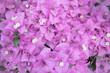 Leinwanddruck Bild - pink bougainvillea flowers in texture background
