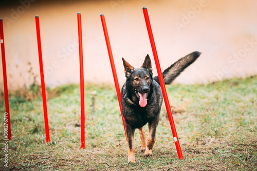 Fotografía  German Shepherd Dog doing agility - running slalom