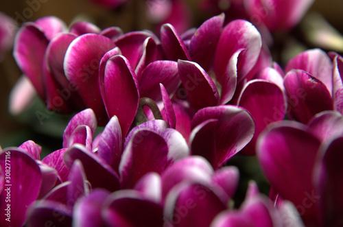 Photo Primo piano di piccoli petali viola.