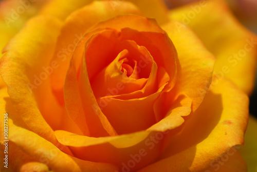 yellow rose flower closeup