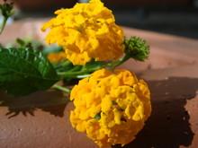 Cloeup Of Yellow Lantana Flowers