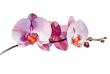 Original Watercolor Drawing - Pink Orchid. Gentle Flower Isolated On White Background. Hand Drawn Botanical Orchid.