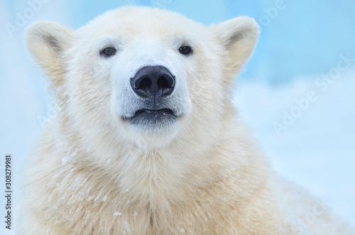 polar bear on white background Canvas Print