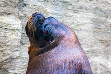 Sea Lion Portrait In Close Up