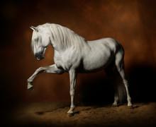 Photo Studio D'un Cheval étalon Lusitanien Blanc Spectaculaire