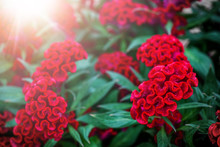 Celosia Cristata Red Twisted F...