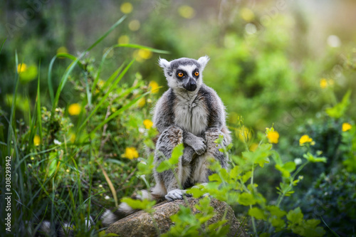 Photo  Lemur the beautiful monkey animal of Madagascar detail.