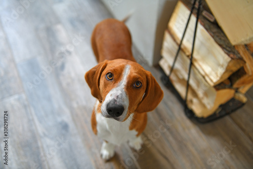 Photo Drever, breed of dog, short-legged scenthound from Sweden used for hunting deer and other game