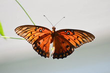 Gulf Fritillary Butterfly Laying Eggs On Passionflower Vine