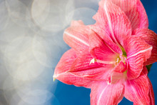 Pink Flowers Hippeastrum Or Amaryllis With Bokeh