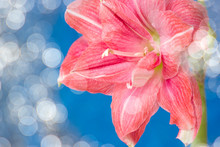 Pink Flowers Hippeastrum Or Am...